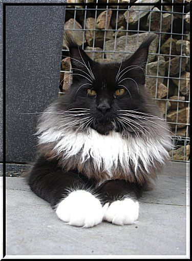 #MaineCoon #Black #Solid #White #Cats Kithara's Intense Passion