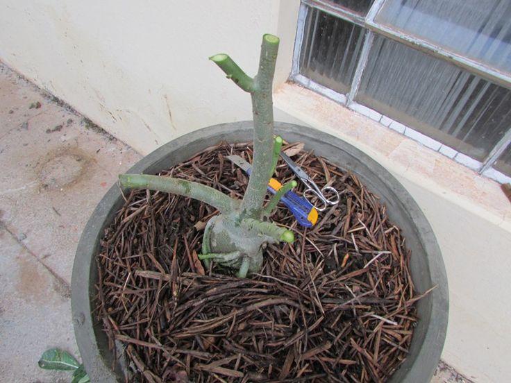 As podas drásticas podem deixar a sua planta feia e esquisita, mas são importantes à forma e floração dos Adeniums. Foto de Sinval.