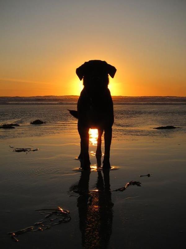 Milovat tuto pic psa v západu slunce na pláži. Dělá mi chce být na pláži TEĎ   Daily Beautiful Pictures