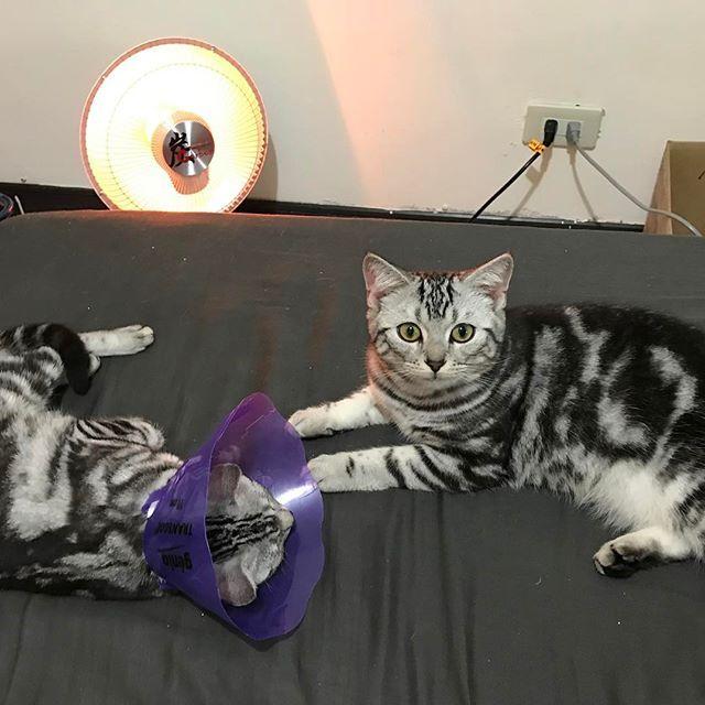 貝貝結紮了 變得好瘦😭 酥姆的身材已經肥了貝一倍🐷🐷🐷 #huiyafamily #spayandneuter ------------------------------------------- #貓 #喵星人 #猫 #猫部 #愛猫 #ねこ #neko #cat #cats #lovelycat #instacat #cat_of_world #kitten #catsnet #igmeows #meow_beauties #cats_of_world #catlife #americanshorthair #ilovemycat #catlover #loveyourcat #excellent_cats