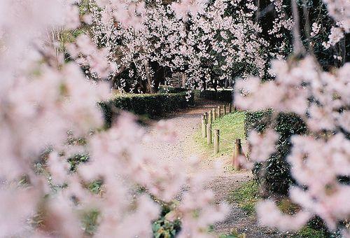 .Beautiful 極致美圖, Ethereal Beautiful, Cherries Blossoms, Pink Flower, Cerasus Spachiana, Favorite Places, Pretty Pink, Cherries Trees, Bloom