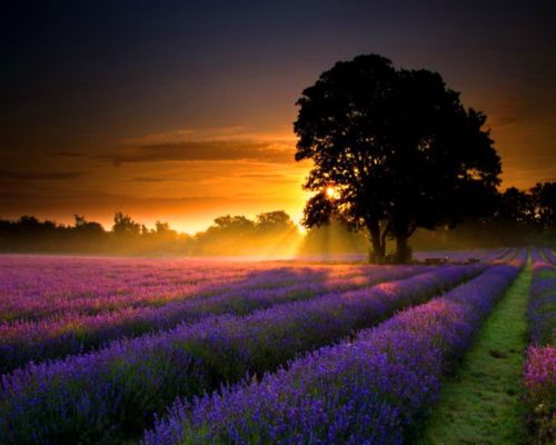 Lavender sunset, Provence, France   The South of France   Lavender fields, Beautiful, Provence france