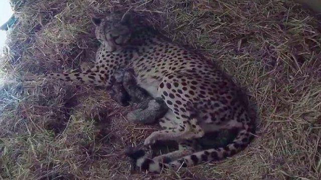 Le 4 mai 2016 Naissance rare de 4 guépards à la Réserve africaine de Sigean dans l'Aude