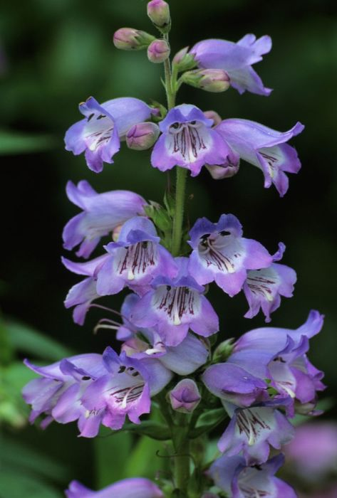 Penstemon Woodpecker.  Loved by bees.  Well drained soil but not too fussy about the type of soil.  Sun or partial shade.
