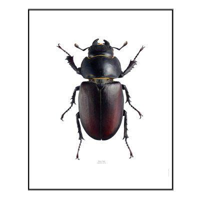- Ekoxe Hona poster formgiven av Göran Liljeberg. Till en början kan denna poster se skrämmande ut men tittar man närmare är den väldigt vacker och en snygg inredningsdetalj. Insekten heter på latin: Lucanus Servus, och något så tjusigt ord är väl inte fel att ha hängandes på väggen? Ekoxe är en skalbagge som tillhör Europas största skalbagge-art och påträffas oftast vid en ek. Honan har runda former, är rödbrun/svart i skalet och har ett väldigt vackert utseende. Ta in naturen i hemmet, på…