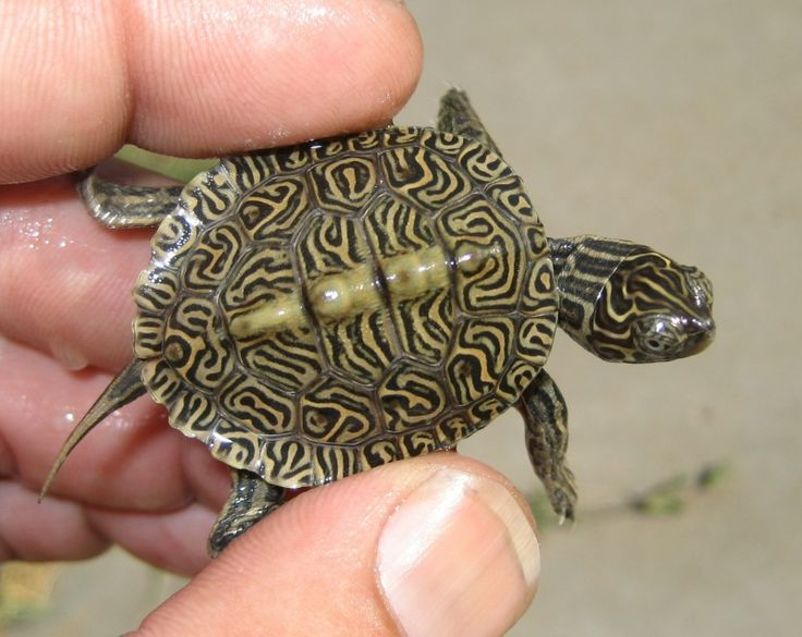 Map turtle & diamondback terrapin hybrid.