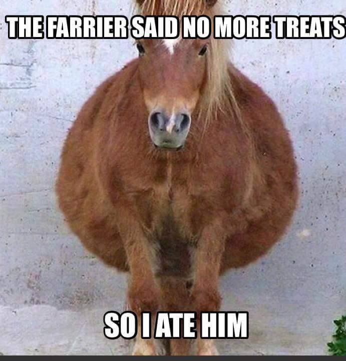 Horse humor, the farrier said n o more treats, so I ate him. Cute big bellied horse, really big belly!