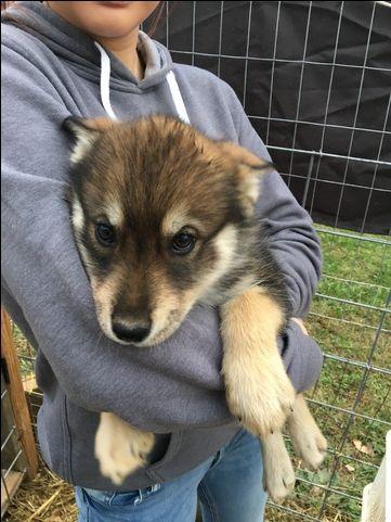Wolf Hybrid puppy for sale in LANESVILLE, IN. ADN-19067 on PuppyFinder.com Gender: Female. Age: 14 Weeks Old
