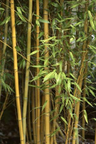 Golden #bamboo grows rapidly, and it is useful in situations where you want to create a privacy screen quickly.  http://www.gardenguides.com/128227-grow-golden-bamboo-southwest.html #gardening