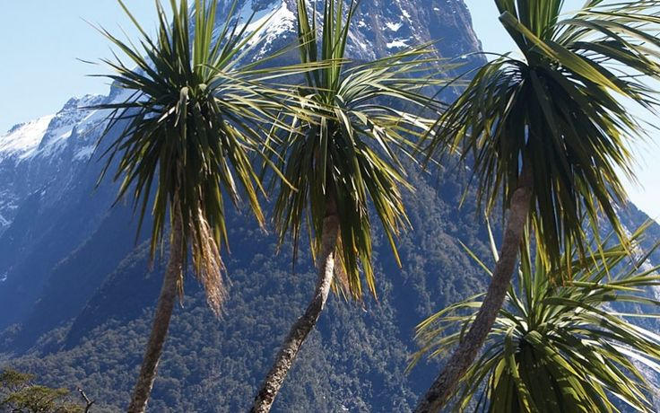 Framed here by a New Zealand mountain backdrop, the southern cabbage tree is a lowland species believed to have once formed dense jungles along river banks.