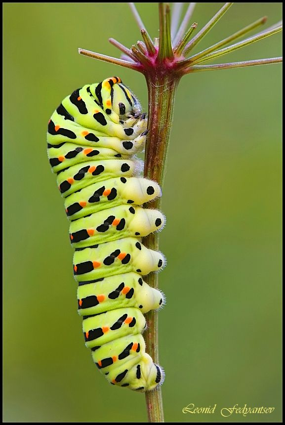 Siesta Swallowtail Caterpillar:  getting ready to become a butterfly