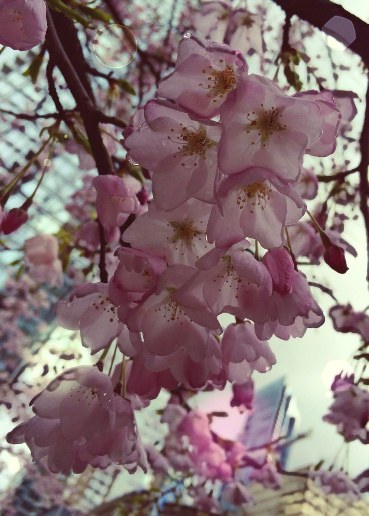Cherry Blossoms at Burrard Sky Train Station Vancouver.