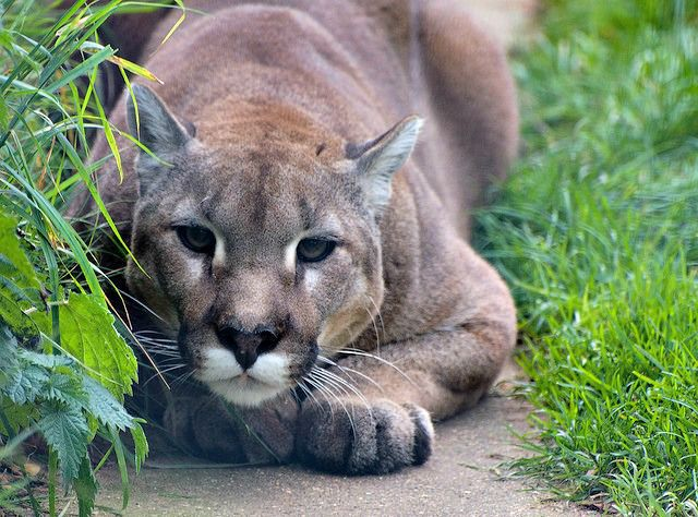 Cougar ready to pounce. Cougar - Cool and Interesting Facts for Kids