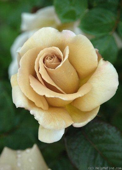 JacTan - one of the rare roses on the farm