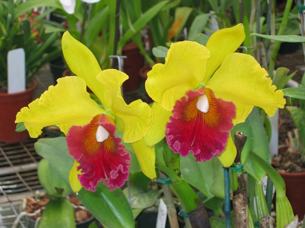 Orchids Farm, Wholesale Orchids Nursery   Cal Pacific Orchids in Encinitas, CA
