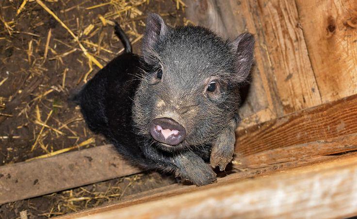 die besten 25 minischweine ideen auf pinterest minischwein niedliche schweine und. Black Bedroom Furniture Sets. Home Design Ideas