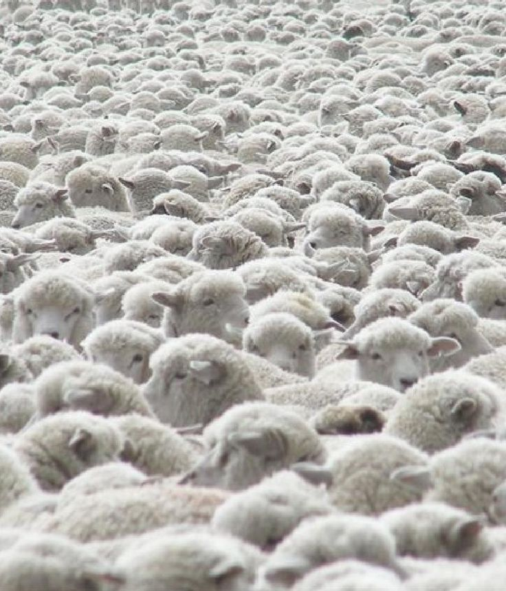 This Time instead of counting sheeps to fall in sleep,counting this sheeps in people shap or the wolves in the sheep shaps as well