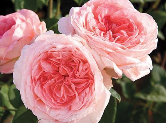 Liv Tyler Star Roses Plants Fragrant Roses Hybrid Tea Roses Types Of Roses