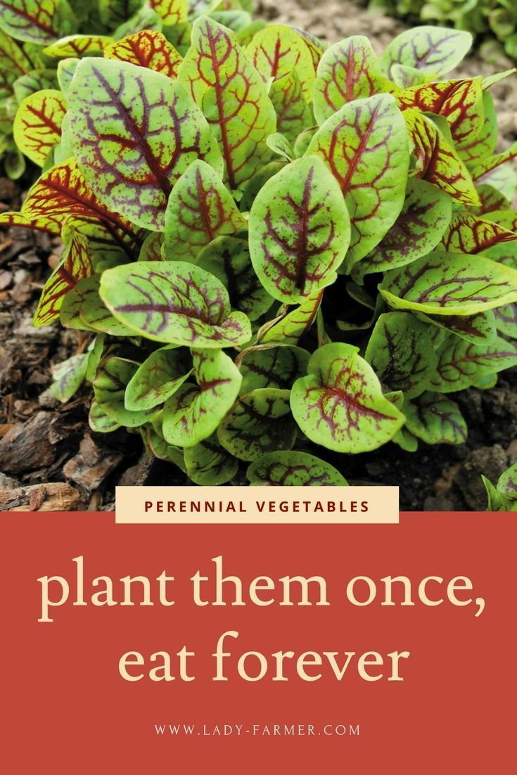 Perennial Vegetable Gardening | Plant these once, eat forever! Permaculture for soil health. #OrganicGarden