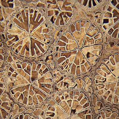 coral cross section #ravenectar #microscope #upclose #beautiful #patterns #intricate #micro