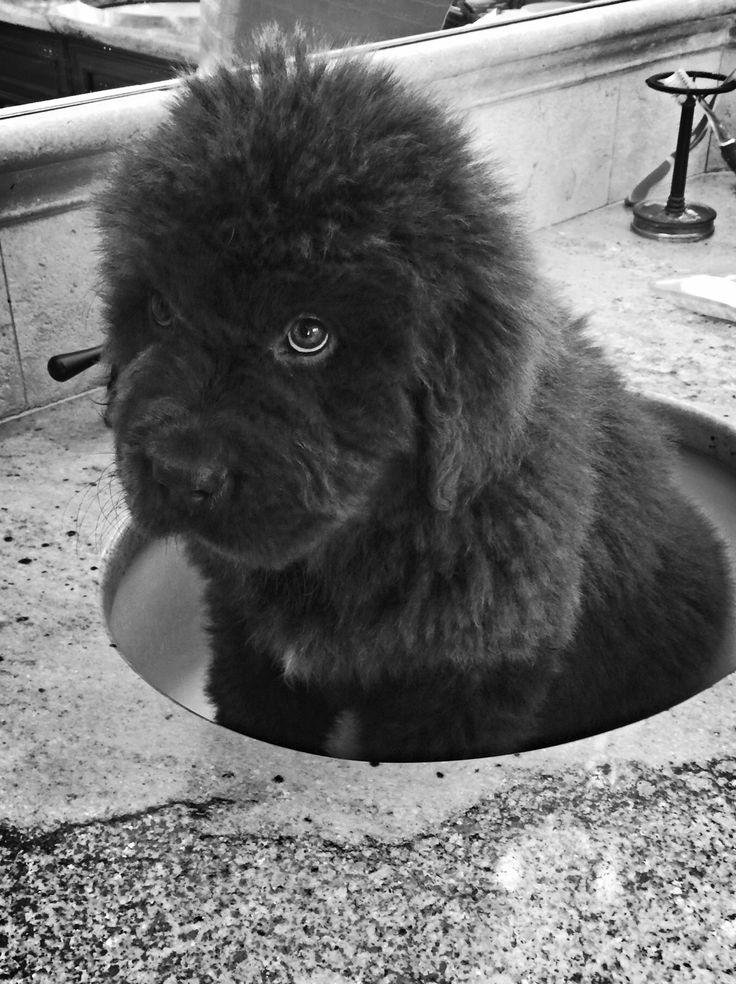 Newfoundland Newfie Puppy Bath