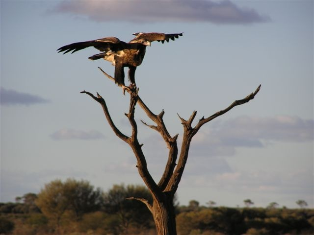 Wedgetailed Eagle  Wiluna, Western Australia  2005  Lisa Marshall