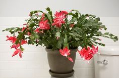 Propagate a Christmas Cactus by cutting off sections of the stem. Each section must consist of two or three joined segments. Allow each section to dry for a few hours before pushing them into a 3-inch pot that contains the same potting soil as the parent plant. Plant halfway down the first segment. Treat the cuttings as mature plants. In about four to six weeks, the cuttings should have rooted and will begin to show some new growth. They grow quickly, and should take in about two or three…