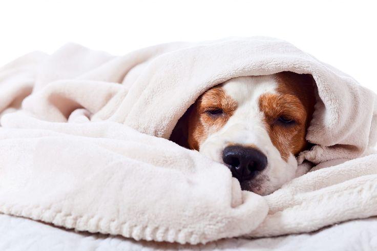 La Gripe Canina: Presiona la foto y averigua síntomas, tratamiento y precauciones para esta enfermedad que si no se trata a tiempo puede ser mortal.
