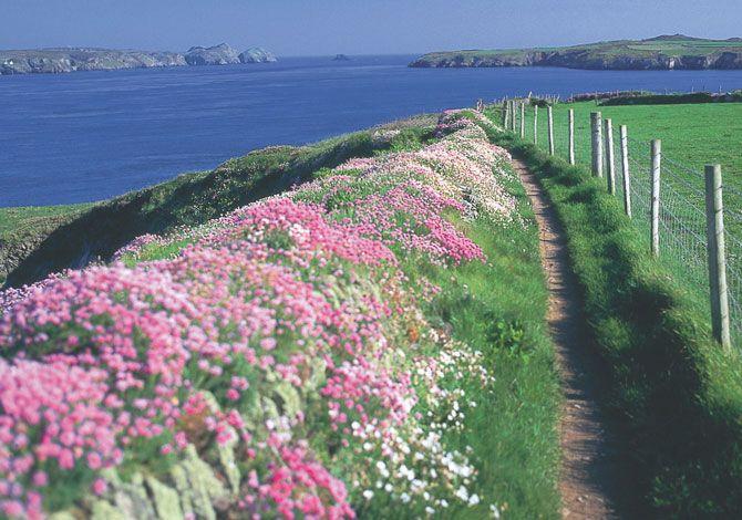 Sea Campion (silene maritima) and Thrift or Sea Pinks (Armeria maritima)  ...The wild flowers of Cardigan Bay Cardiganshire (Ceredigion).