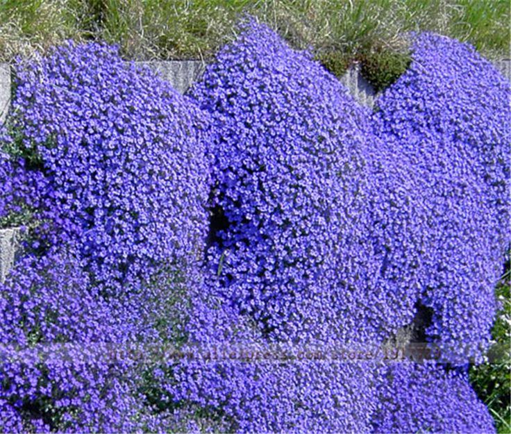 Купить товар50 шт./Рок Кресс (Обриета cultorum) семена, Редкие синий рок кресс Семена цветов для Дома Сад многолетние Почвопокровные растения в категории Карликовые деревьяна AliExpress.               Описание продукта           Добро пожаловать в мой магазин                     Вы можете использоват
