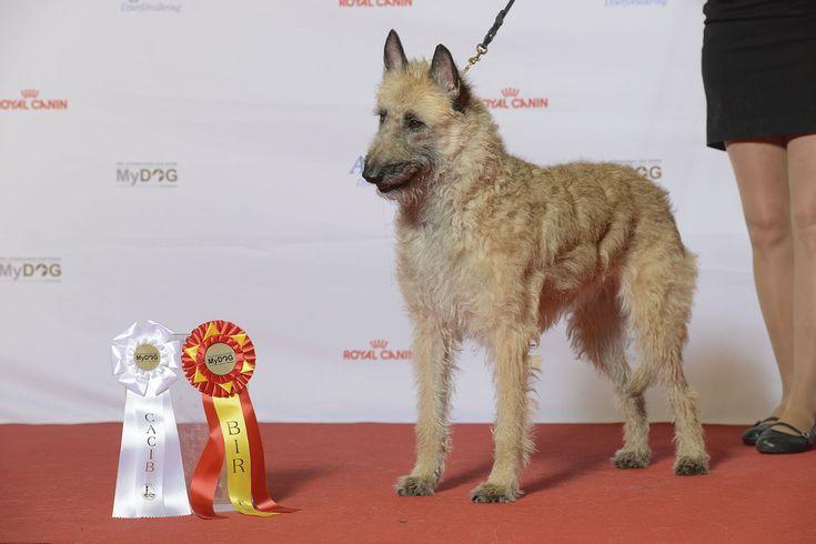 The Belgian Laekenois is The Unusual Belgian Sheepdog