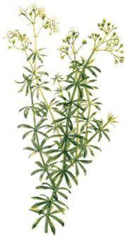 Lady Bedstraw - ingredient herb in kidney stones tea