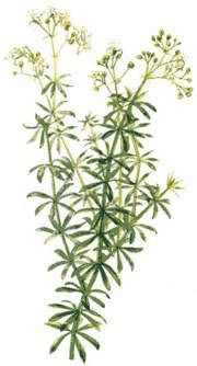 Lady Bedstraw - ingredient herb in kidney stones tea