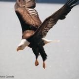 Haida Gwaii eagle