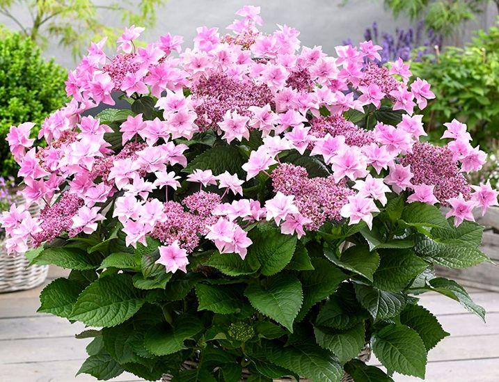 Hortensja Ogrodowa Doppio Rosa Gwiazdkowe Kwiaty Garden Beautiful Birds Plants