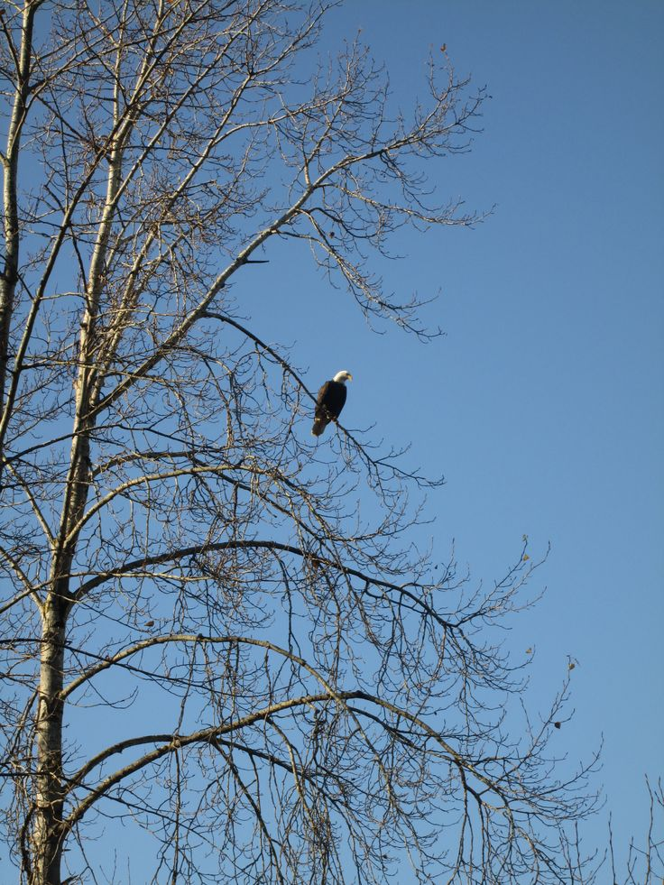 An eagle sits perched on one of the many trees in South Arm Marshes.