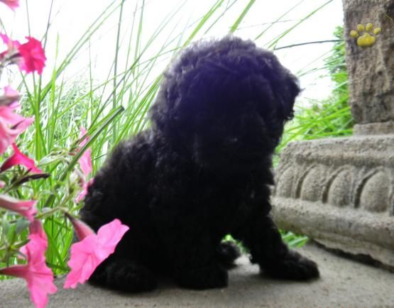 Anna Poodle Toy Puppy For Sale In Jamestown Pa Lancaster Puppies Toy Puppies For Sale Toy Poodle Poodle Puppies For Sale