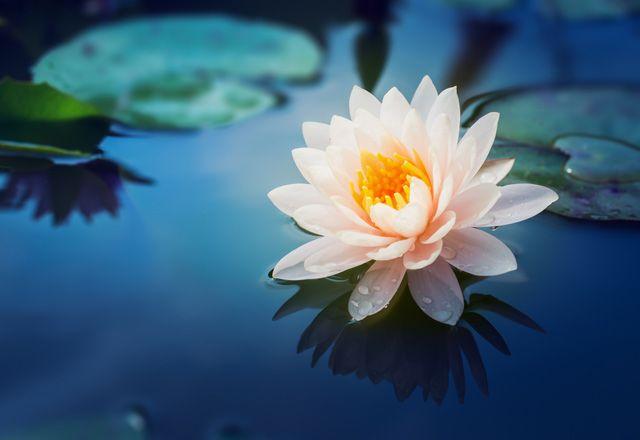 Lotus çiçeği nedir? Nerede yetişir?