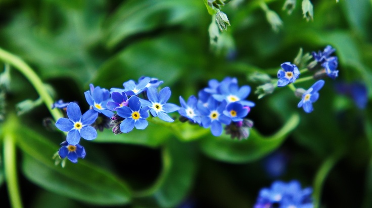 Forget-me-not by Hiwa T