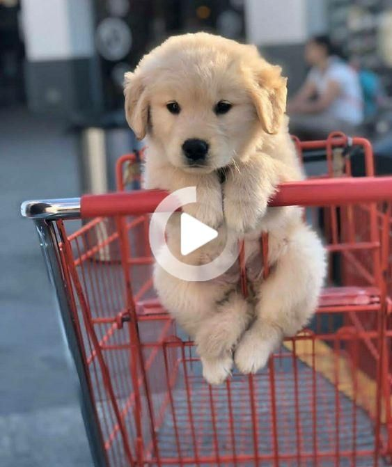 Dogs For Sale We Need To Talk In 2020 Dogs Dogs For Sale Cute Dogs And Puppies