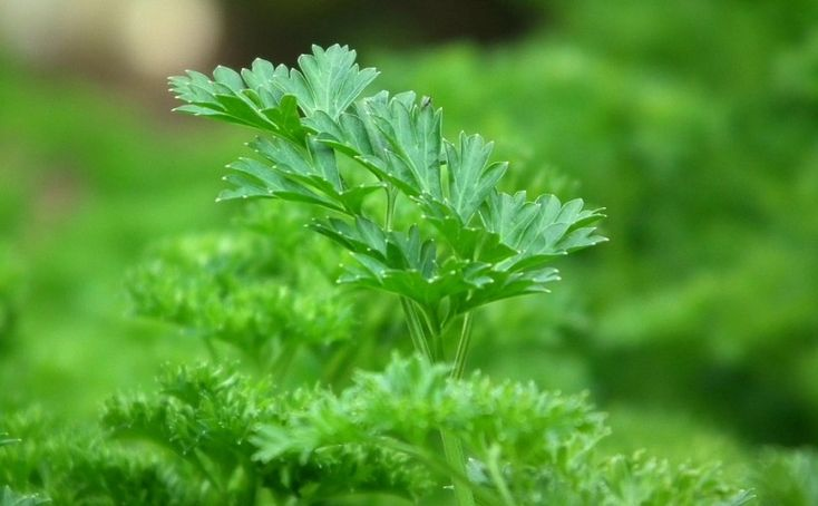 Petržel: Pěstování chutné zeleniny i voňavého afrodiziaka – Pěstuj zeleninu