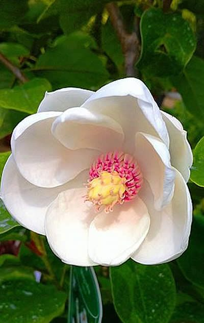 Magnolia Sieboldii  i miss the great magnolia trees with the flowers in houston but not the weather!!!!!!!!!!!