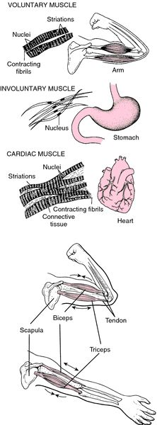 Muscle | definition of muscle by Medical dictionary