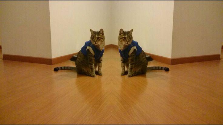 Mascota de la casa #chat #cat