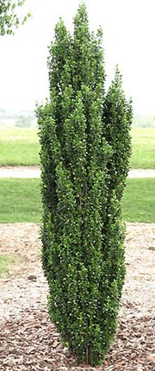 P3 #9 Japanese Sky Pencil Holly-can keep at 6' but will mature to 10' - 2-3' wide - either side of front porch