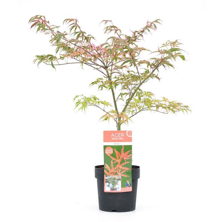 Acer Palmatum Plant - Shirazz