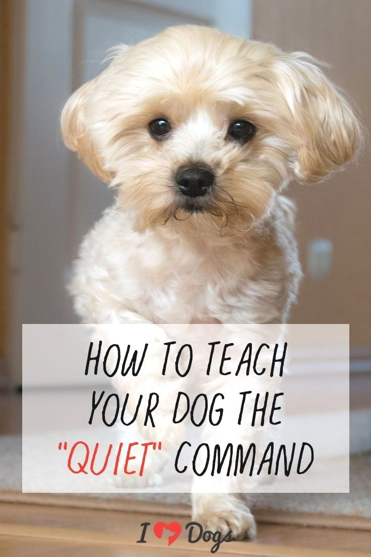 How To Stop Your Chihuahuas Aggression How To Stop It Or Prevent
