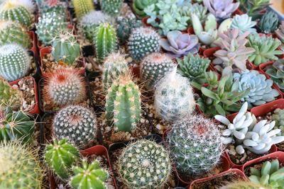 """2"""" Succulent & Cactus Mix bulk wholesale succulent prices at the succulent source - 5"""