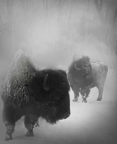 There Is Something Magical About Photos Of Bison And Snow...