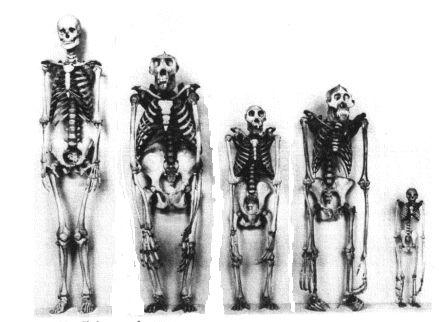 human, gorilla, chimp, orang, gibbon crazy :) | genius! pure, Skeleton